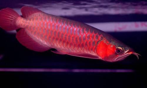 red-red-arowana-500x500